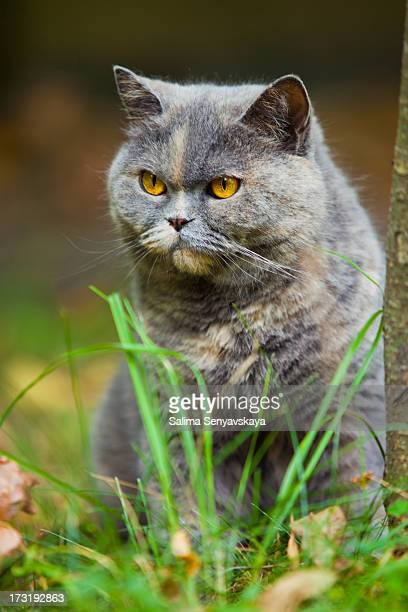 british cat in the park - british shorthair cat stock pictures, royalty-free photos & images