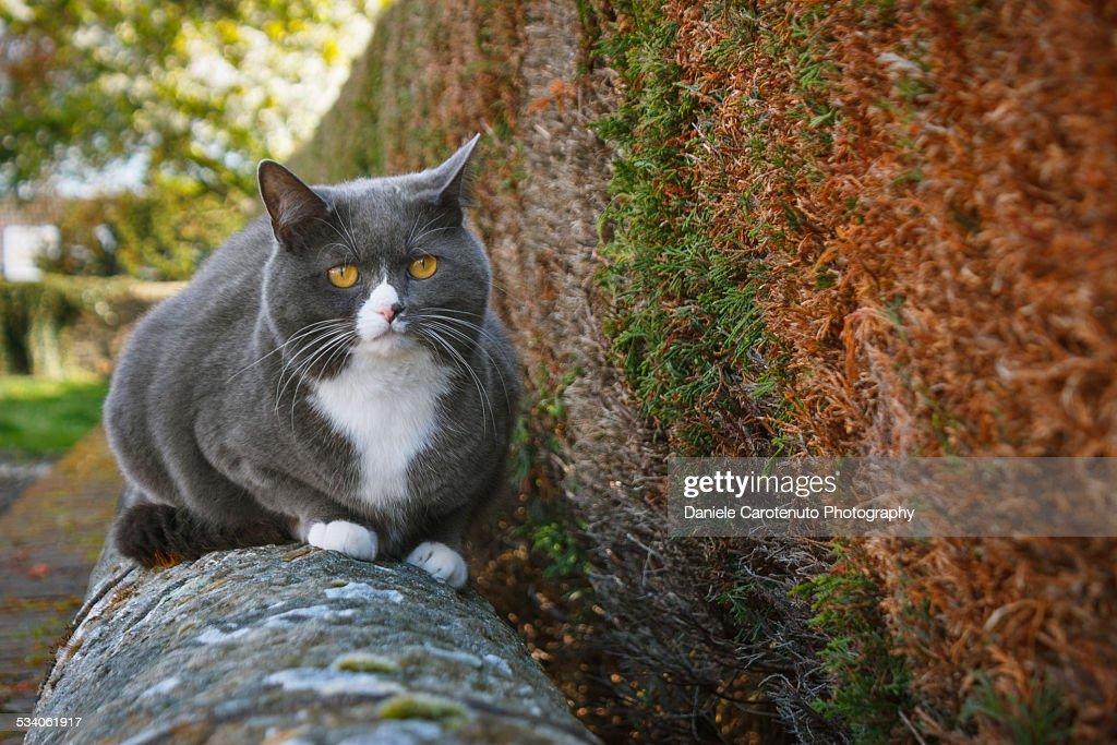 British cat : Stock Photo