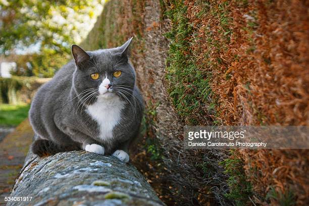british cat - daniele carotenuto stock-fotos und bilder