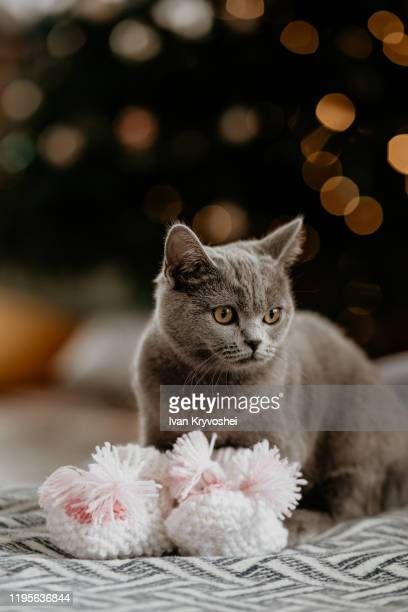 british cat sitting in baby socks near christmas tree. grey british cat looking on the side on the background of a christmas tree. blurred ligts - happy new month - fotografias e filmes do acervo