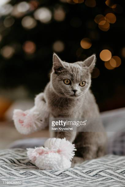 british cat sitting in baby socks near christmas tree. grey british cat looking on the side on the background of a christmas tree. blurred ligts - cat family stock pictures, royalty-free photos & images