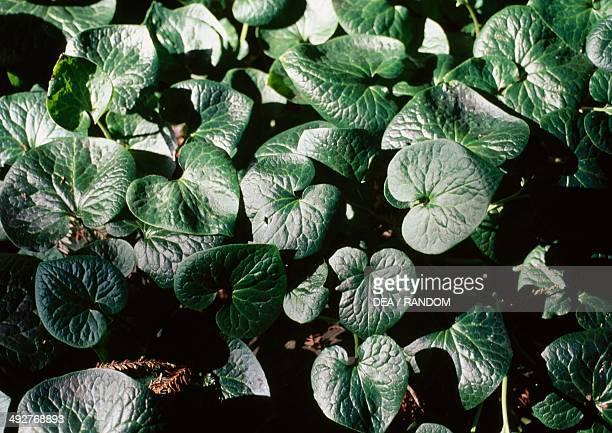 British columbia wildginger Aristolochiaceae