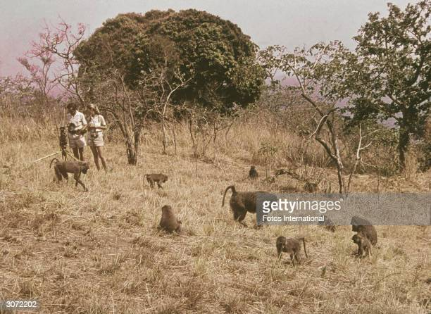 British ethologist Jane Goodall and an unidentified man stand outdoors observing a field of African baboons 1974
