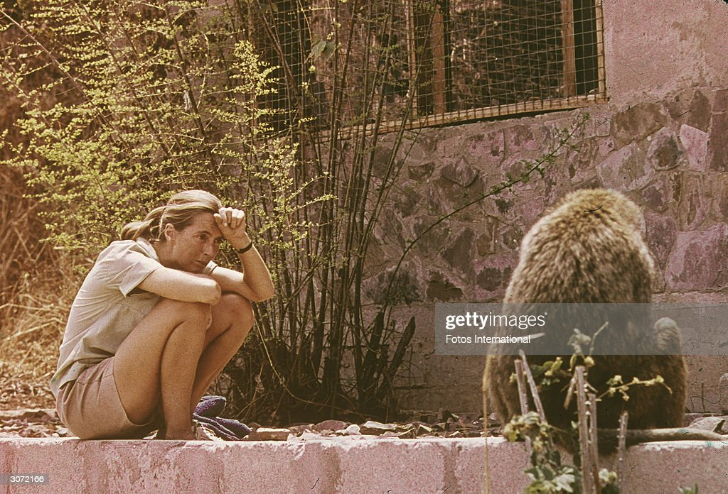Jane Goodall Studying African Baboon : News Photo