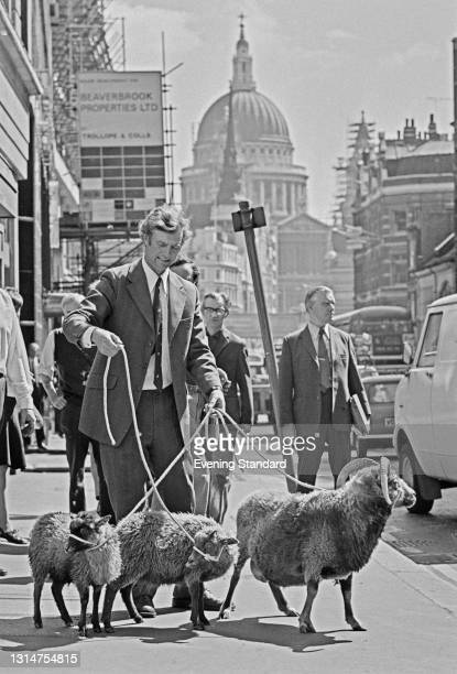 British farmer and conservationist Joe Henson , founder of the Cotswold Farm Park, walks three sheep through the City of London, near St Paul's...