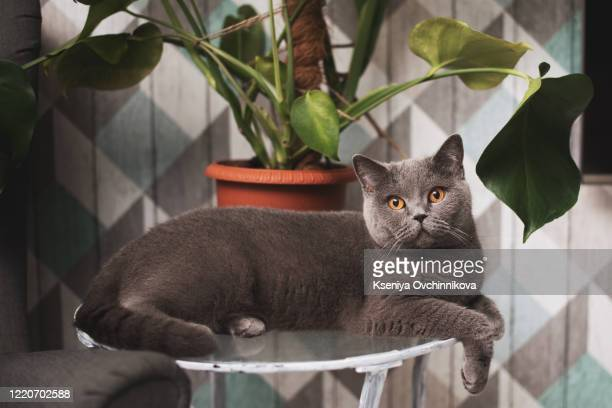 british fold cat - british shorthair cat stock pictures, royalty-free photos & images