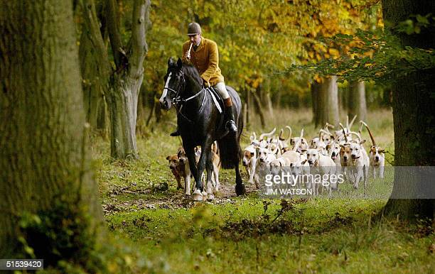 British fox hounds trail behind the huntsman who is responsible for directing the hounds in the course of a hunt as he blows his horn to signal the...