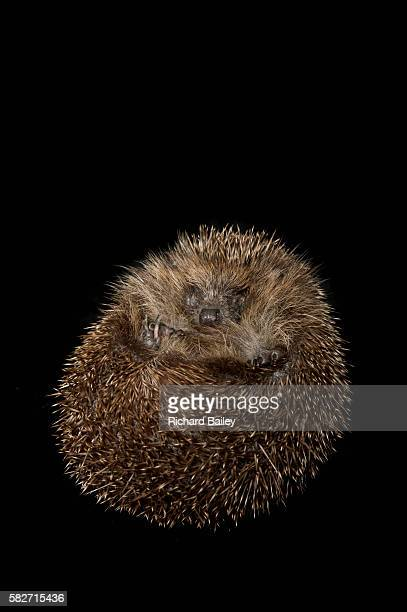 british hedgehog - hibernation stock pictures, royalty-free photos & images