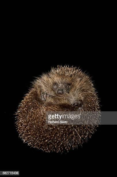 british hedgehog - 冬眠 ストックフォトと画像