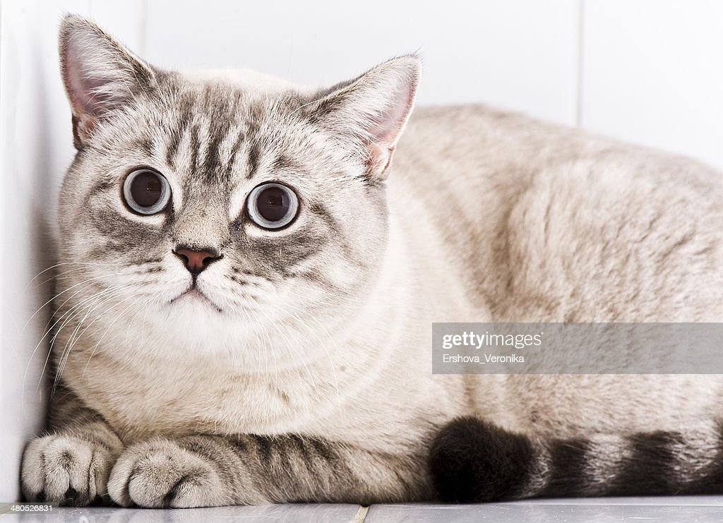British Kitten : Stock Photo