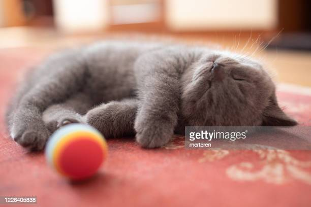 british kitten sleeping - purebred cat stock pictures, royalty-free photos & images