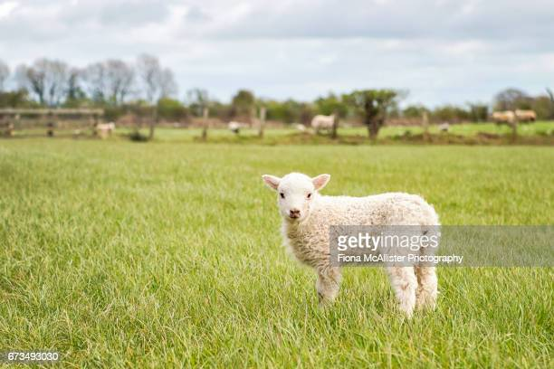 British Lamb Out In Field
