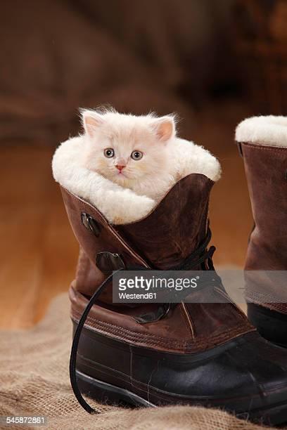 British Longhair Cat, kitten, cream, 7 weeks, in boot