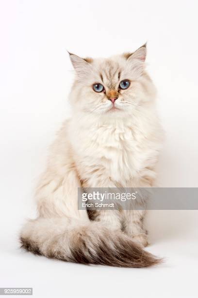 British Longhair cat, sitting