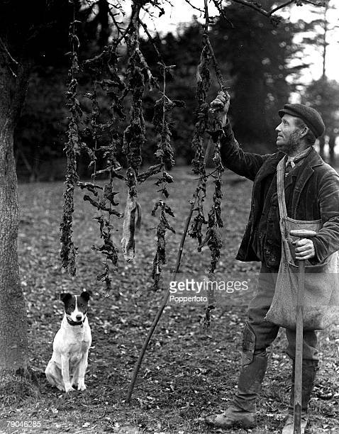 circa 1940's Great Britain A mole catcher with his dog and some of his catch strung up from a tree Moles are subterranean creatures related to the...