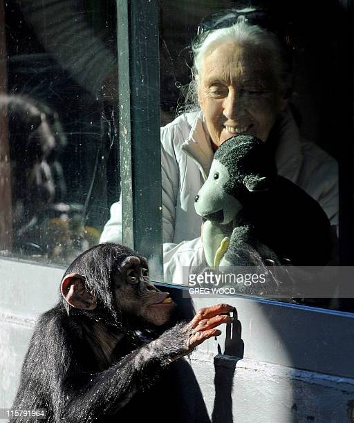 British naturalist Jane Goodall looks out through a glass window towards 'Sule' a young male chimpanzee at Sydney's Taronga Zoo on June 5 2011 To...