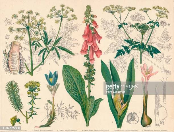 British Poisonous Plants' midlate 19th century 1 Water Hemlock 2 Hemlock 3 Foxglove 4 Cypress Spurge 5 Pasque Flower 6 Autumn Crocus Artist Cassell Co