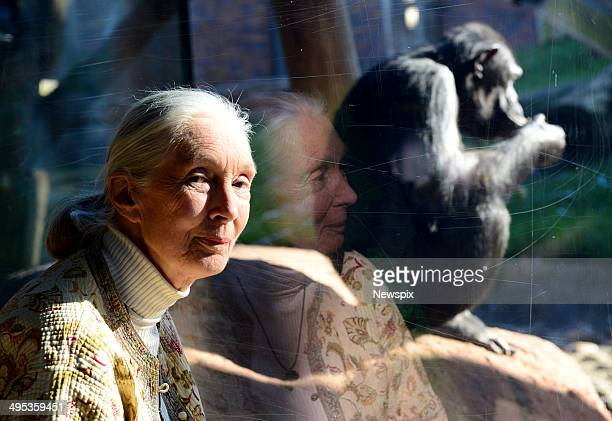 British primatologist Jane Goodall at the chimpanzee enclosure at Taronga Zoo on May 29 2014 in Sydney Australia Worldrenowned conservationist and...