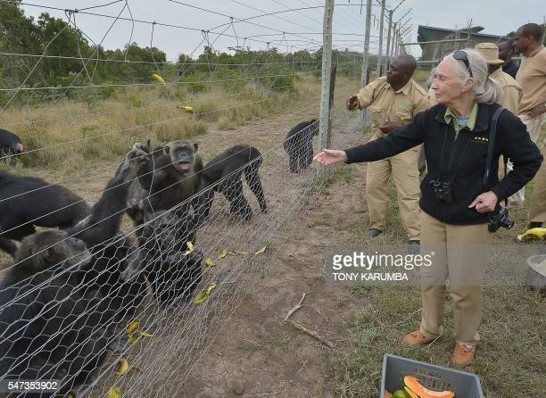 British primatologist Jane Goodall feeds rescued chimpanzees on July 14 2016 at the Sweetwaters sactuary Kenya's only greatape sanctuary within...