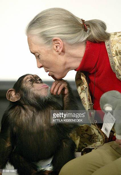British primatologist Jane Goodall the world's famous authority on chimpanzees is kissed by Pola a young chimpanzee in Budapest' Zoo 20 December 2004...