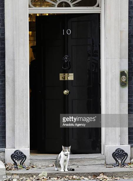 British Prime Minister David Cameron's cat Larry at 10 Downing Street central London on October 22 2014