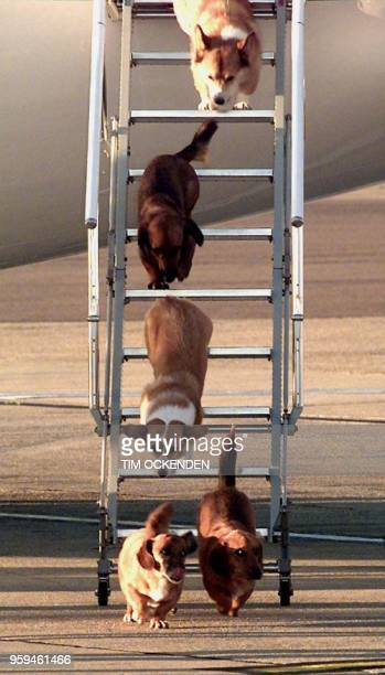 British Queen Elizabeth II's dogs leave the aircraft of the Queen's flight from Aberdeen at Heathrow Airport in London Wednesday 16 September before...