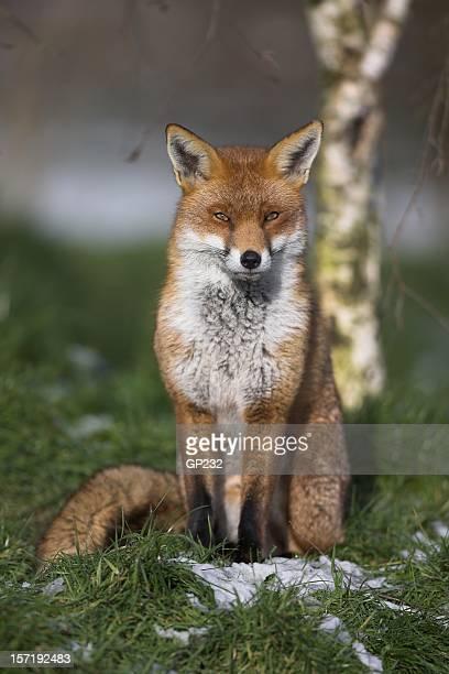 British Red Fox Porträt