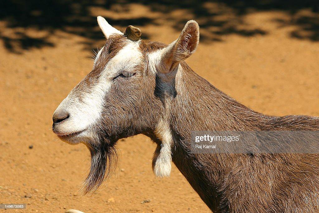 British Saanen Goat England Stock Photo - Getty Images