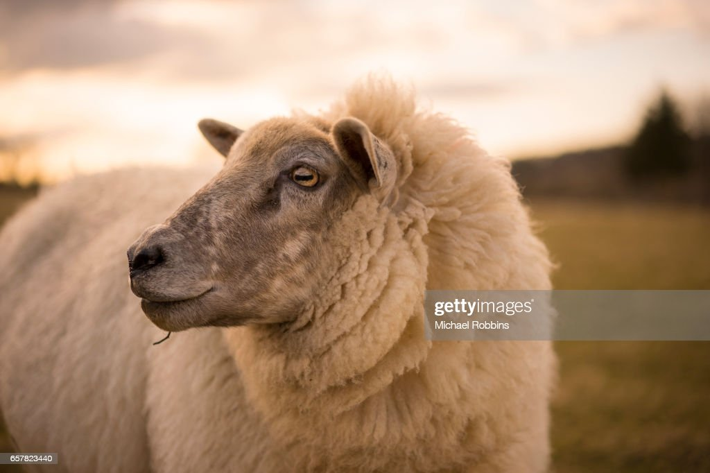 British Sheep Breeds And Lambs Stock Photo - Getty Images