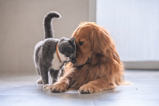 British short hair cat and golden retriever 992637094
