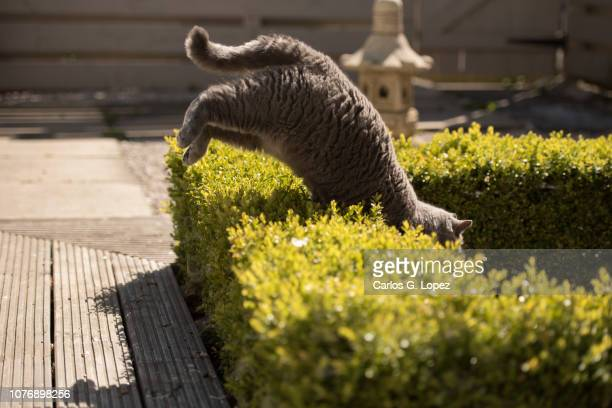 british short hair cat jumping over a hedge on zen garden - british shorthair cat stock pictures, royalty-free photos & images