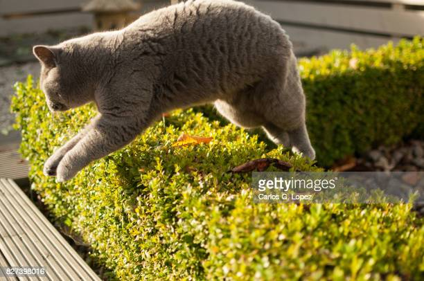 British Short hair cat jumping over hedge on garden