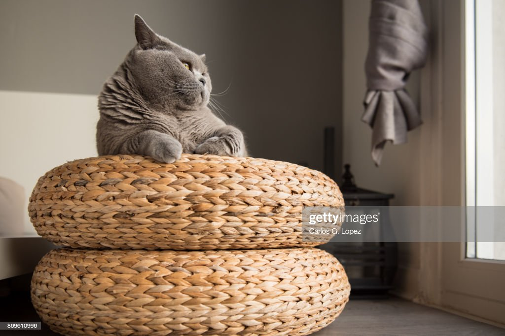 Swell British Short Hair Cat Lying On Round Wicker Stool Looking Onthecornerstone Fun Painted Chair Ideas Images Onthecornerstoneorg