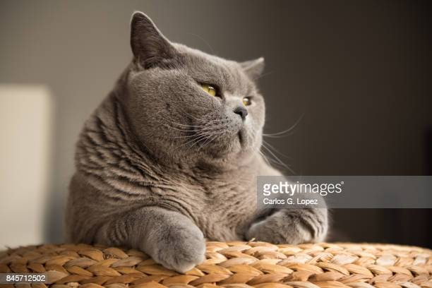 british short hair cat lying on wicker stool looking away - british shorthair cat stock pictures, royalty-free photos & images
