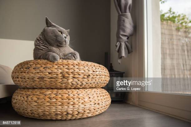 British Short hair cat lying on wicker stool looking out the patio door