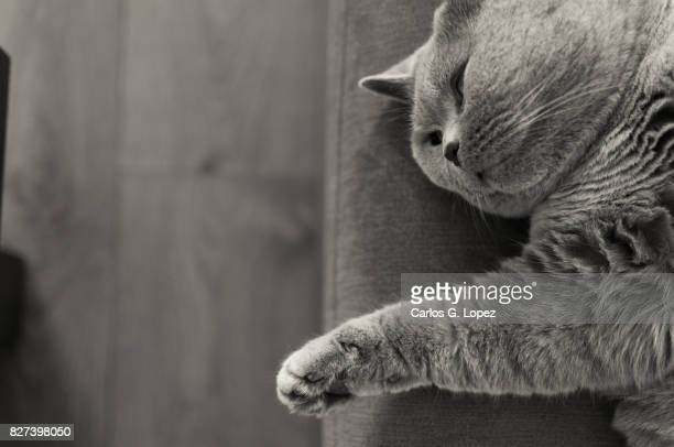 british short hair cat relaxing on the edge of a sofa - british shorthair cat stock pictures, royalty-free photos & images