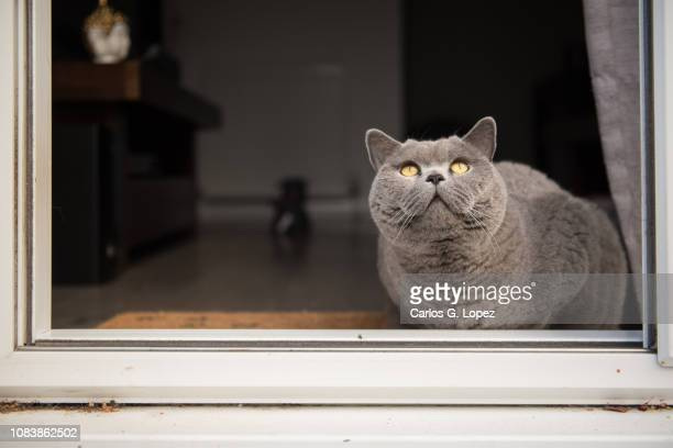 british short hair cat sitting next to open patio door looking up - british shorthair cat stock pictures, royalty-free photos & images