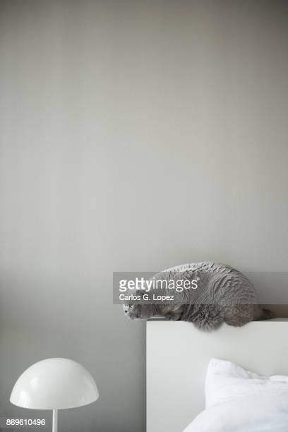 British Short Hair cat sitting on edge of bed head board near lamp