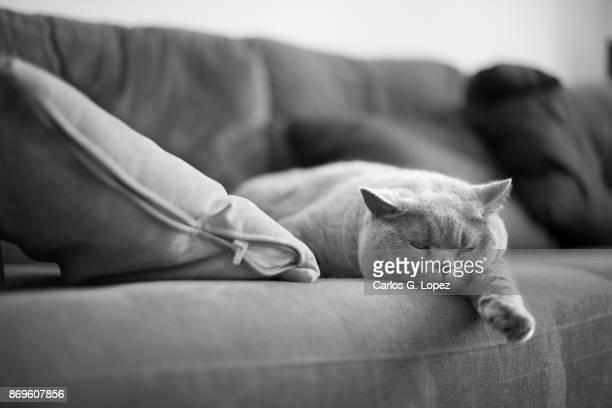 A British Short Hair cat sleeping near cushion on a sofa