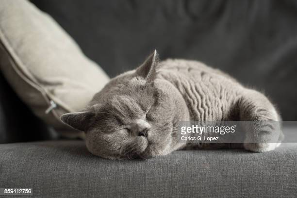 british short hair cat sleeping near cushion on couch - fat cat stock photos and pictures