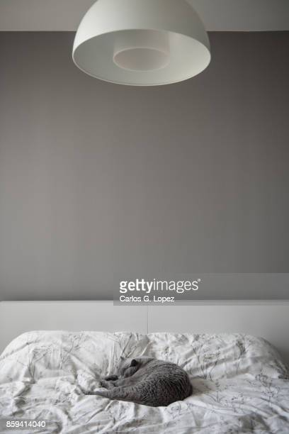 British Short Hair cat sleeping on bed under round lamp