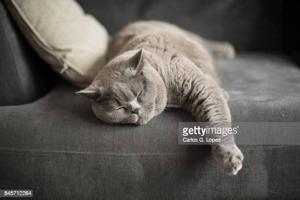 british short hair cat sleeping on couch with paw hanging out - cushion stock photos and pictures