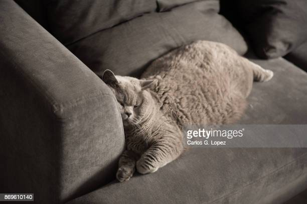 British Short Hair cat sleeping with her face resting on couch