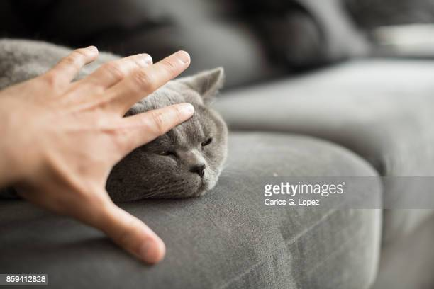 British Short hair cat stroked on head while lying on sofa