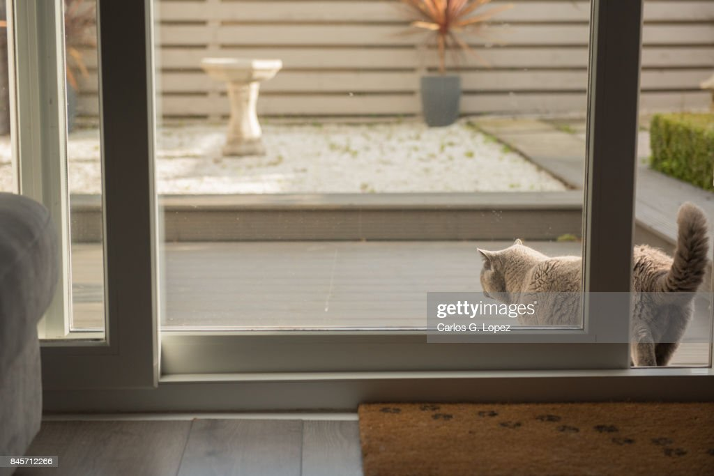British Short Hair Cat Walking Out To A Zen Garden Through Patio