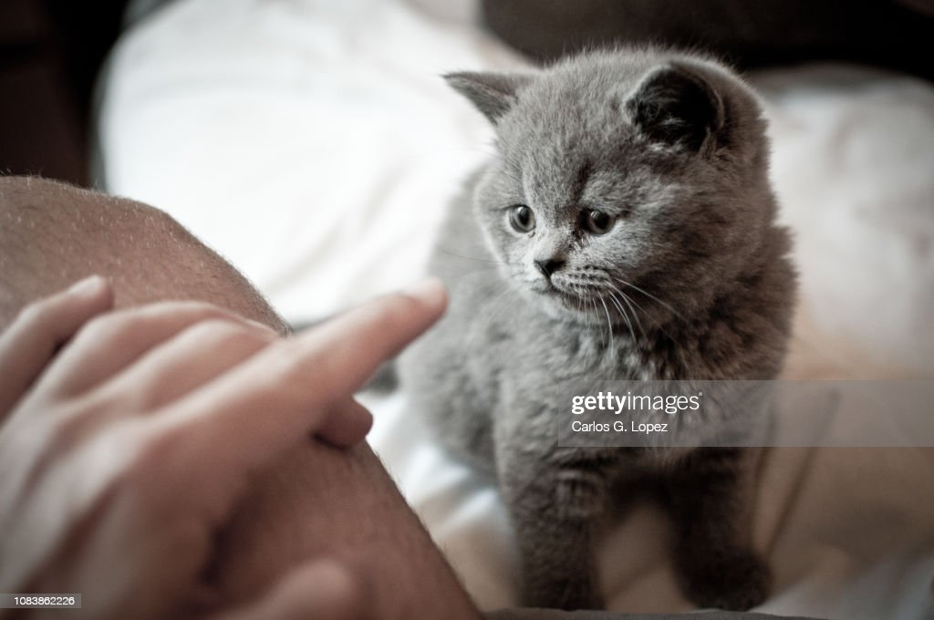 British Short Hair kitten playing with owner on bed : Stock Photo