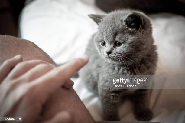 british short hair kitten playing with owner on bed - british shorthair cat stock pictures, royalty-free photos & images