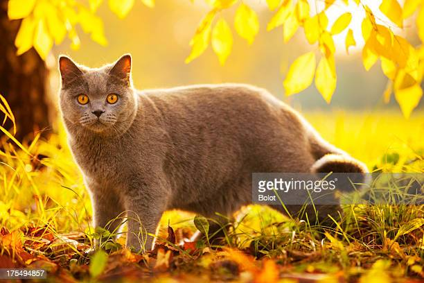 british shorthair cat in autumn park - british shorthair cat stock pictures, royalty-free photos & images
