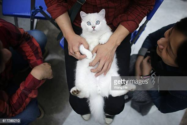 British Shorthair cat is held during the TICA international cat show at the Aoshan Shiji Plaza on October 22 2016 in Wuhan Hubei province China