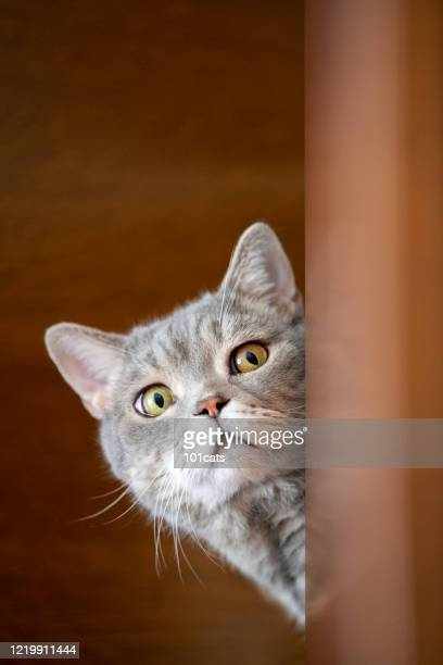 british shorthair cat lock on target at home. - shorthair cat stock pictures, royalty-free photos & images